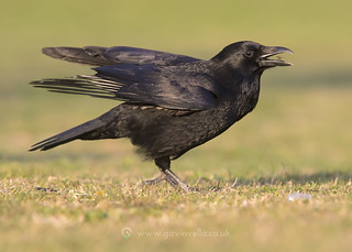 Flycatching Carrion Crow 14th April