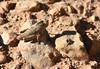 Saltamontes (esta_ahi) Tags: torrellesdefoix insectos fauna saltmontes llagost orthoptera penedès barcelona españa spain испания