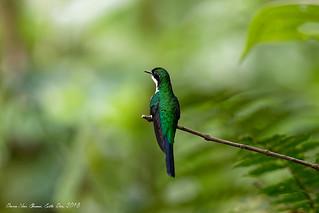 Colibri à queue large