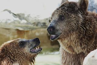 Ursus arctos, l'ours brun.