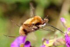 Bee Fly (ashperkins) Tags: bombyliusmajor beefly darkedgedbeefly dipteria macro closeup inflight signsofspring graig glanconwy northwales inthegarden