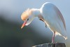 The Trump Combover (Phil Gower Bird Photography) Tags: cattle egret