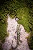 Green Salamander (Aneides aeneus) (David A. Burkart) Tags: green salamander aneides aeneus bellcounty kentucky usa amphibian herp nature appalachian cumberland mountain