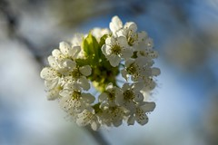 My cherry blossoms. (agnieszka.a.morawska) Tags: macro dof wiosna sky beyondbokeh bokeh bokehlicious helios44m helios kwiatczereśni flower cherryblossoms spring