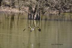 Osprey_9911ee (Porch Dog) Tags: garywhittington nikond750 nikkor200500mm wildlife nature kentucky lakebarkley osprey bird featherss feathers water lake cumberlandriver 2018