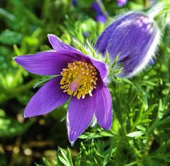 Gewöhnliche Kuhschelle (Pulsatilla vulgaris) (Kat-i) Tags: gewöhnlichekuhschelle pulsatillavulgaris küchenschelle frühjahr spring blume flower macro makro lila purple blüte blossom nikon1v1 kati katharina