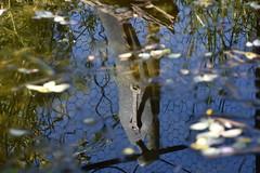 DSC_5420 (griecocathy) Tags: eau sculture homme reflet végétations grillage feuille ciel bleu bois gris noir vert