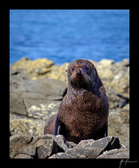2018-04-22_Kaikoura_weekend_013.jpg (Rojobin) Tags: type beach kaikoura portraits landscapes seals animals nz newzealand places