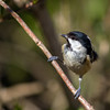 Coal tit (RD400e) Tags: eos 7dmk2 ef 400mm f28 gitzo coal tit