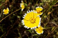 Tidy (LeftCoastKenny) Tags: edgewoodpark flower wildflower