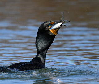 Cormorant Swallowing a Large Fish