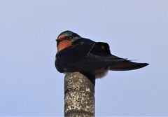 The Swallows have arrived :) ..x (Lisa@Lethen) Tags: swallow bird wildlife nature summer visitor migrate migrant