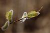 Pajuurvad (Jaan Keinaste) Tags: pentax k3 pentaxk3 eesti estonia loodus nature paju salix pajuurb urb catkin kevad spring