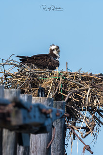 Osprey of the Jersey Shore | 2018 - 22