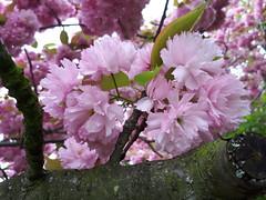 Zierkirschen (gerlindes) Tags: berlinprenzlauerberg frühlinginberlin zierkirschen japanischezierkirschen zierkirschenzeitanderbornholmer
