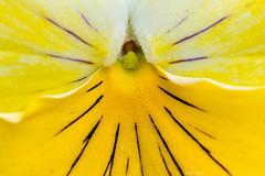 Stiefmütterchen (Peter Goll thx for +6.000.000 views) Tags: erlangen germany pansy stiefmütterchen veilchen macro makro 105mm nikon nikkor d850 flower blume spring frühling garten garden