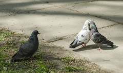 _DSC1908 (toivo_xiv) Tags: doves spring kyiv ukraine sony sonyalpha love kiss birds голуби птицы