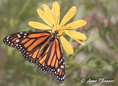 Monarch Butterfly (Anne Marie Fraser) Tags: monarchbutterfly butterfly flower macro pretty desertbotanicalgarden
