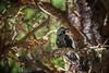 Starling (Chrisnaton) Tags: sturnusvulgaris star vogel bird arosa nature tree animal commonstarling