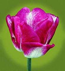 Tulip . Our Garden (Uhlenhorst) Tags: 2018 germany deutschland bavaria bayern plants pflanzen flowers blumen blossoms blüten
