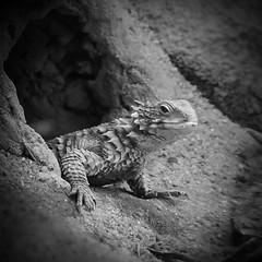Little Dragon 2 (CarSaBe) Tags: animal tier reptile reptil square 500x500 lumix lizard echse black white light shadow schwarz weis schatten licht höhle krallen eyes face portrait porträt gesicht sand stone rock stein fels hole