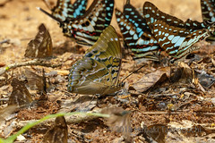 Charaxes numenes etc. (Hiro Takenouchi) Tags: charaxes charaxini charaxinae insect butterflies nymphalidae nymphalid lybithea papillon papilionidae ghana graphium africa butterfly nature wildlife