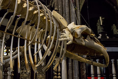 """Whale Spotting"", Sint-Baafskathedraal, Gent, Belgium (IFM Photographic) Tags: img1952a canon 600d ef2470mmf28lusm ef 2470mm f28l usm lseries ghent gent gand flemishregion eastflanders belgium sintbaafskathedraal saintbavoscathedral sintbaafscathedral whale skeleton leo whalespotting régionflamande vlaamsgewest flandreorientale ostflandern oostvlaanderen flanders flandre flandern vlaanderen belgië belgique belgien"