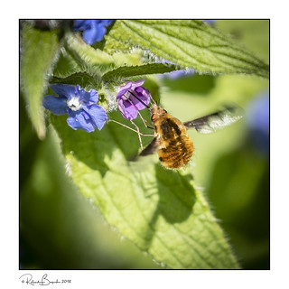 Me and my shadow - Bee-fly feeding