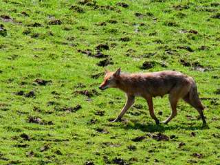 Coyote-11w