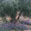 olivo y cantueso (carlosjunquero) Tags: olivo cantueso