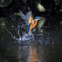 Kingfisher catches the sun (mond.raymond1904) Tags: kingfisher water breach wings sun river dodder dublin