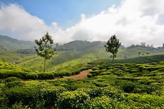 India - Kerala - Munnar - Tea Plantation - 41 (asienman) Tags: india kerala munnar teaplantagen asienmanphotography