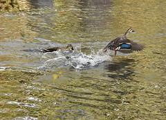I hate you, go away (naruo0720) Tags: 鴨 カモ カルガモ anaspoecilorhyncha sigmalenses マガモ duck