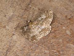 Boarmiini sp. (dhobern) Tags: 2018 china lepidoptera march xtbg xishuangbanna yunnan geometridae ennominae boarmiini