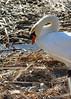 Happy Easter! (Gunn Shots.) Tags: swan muteswan nest eggsinnest eggs lasgallinas