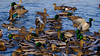 Mallards, widgeon and pintail ducks (david byng) Tags: esquimaltlagoon duck vancouverisland pacificocean birds colwood britishcolumbia 2018 canada