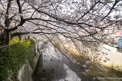 Meguro River (takashi_matsumura) Tags: meguro river sakura cherry blossoms nikon d5300 meguroku tokyo japan ngc afp dx nikkor 1020mm f4556g vr