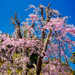 Weeping cherry blossoms in Hase Temple, Kamakura : 鎌倉・長谷寺 thumbnail