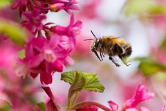 Hairy-footed flower bee (Daniel James Greenwood) Tags: hairyfootedflowerbee londonwildlifetrust centreforwildlifegardening peckham nikond750 sigma105mmf28exdgmacroos danielgreenwood danielgreenwoodphotography anthophoraplumipes