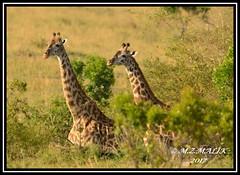 COUPLE OF MASAI GIRAFFES (Giraffa camelopardalis tippelskirchii)...MASAI MARA......SEPT 2017. (M Z Malik) Tags: nikon d800e 400mmf28gedvr kenya africa safari wildlife masaimara keekoroklodge exoticafricanwildlife masaigiraffe ngc npc