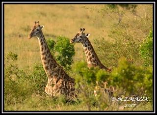 COUPLE OF MASAI GIRAFFES (Giraffa camelopardalis tippelskirchii)...MASAI MARA......SEPT 2017.