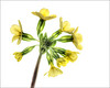 Oxlip (Primula elatior) (Darwinsgift) Tags: flowers flower hdr nikon d850 backlighting white background