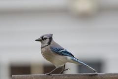 Blue Jay, Cyanocitta cristata (Austin.Jennings) Tags: bluejay cyanocittacristata harford maryland