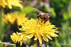 Yummy Pollen (Kasrielle) Tags: insects flowerfly notabee pollination nature flowers dandelion spring bccanada