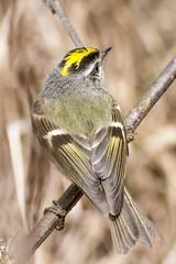 Golden-crowned Kinglet (Regulus satrapa) (OGNelson) Tags: kinglet goldencrownedkinglet bird birding regulussatrapa songbird maplelake