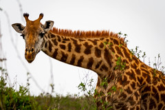 Masai giraffe (rgreen_se) Tags: africa wildlife country landscape calm enjoying forest safari park nairobinationalpark outdoor legs longingforberries angles depthoffield
