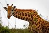 Masai giraffe (rgreen_se) Tags: africa wildlife country landscape calm enjoying forest safari park nairobinationalpark outdoor legs longingforberries angles depthoffield