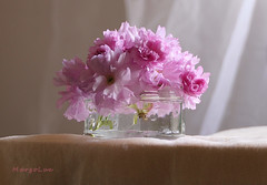 *** (MargoLuc) Tags: cherry blossoms spring flowers stilllife naturallight window backlight pastel soft colors pink