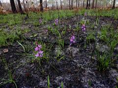 Population of Manyflowered grasspinks (eleanord43) Tags: anf april calopogonmultiflorus manyfloweredgrasspink pink