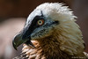 Bartgeier / Bearded Vulture (Doris & Michael S.) Tags: vogel bartgeier tiere tiergartennürnberg animals beardedvulture zoonürnberg bird oiseau πουλί птица 鸟